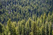 Dense, Rugged Forest Of Ponderosa Pines In The Sawtooth Wilderness Mountains Of Idaho poster