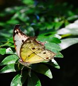 stock photo of cocoon tree  - Rare African Salamis parhassus butterfly on a plant - JPG