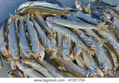Catch Of Winter Fishing