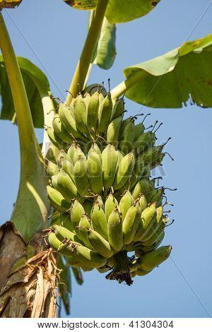 Bunch Of Bananas On Banana Tree