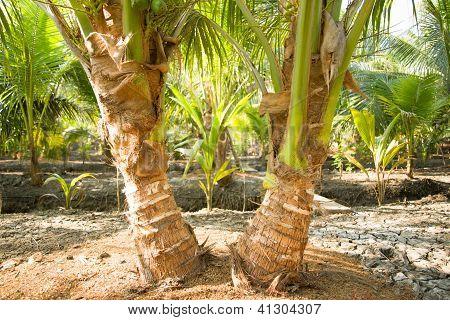 Twin Coconut Tree
