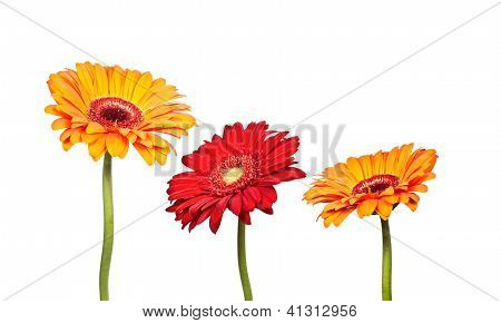 Three Flowers Of Orange Gerbera