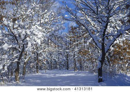 Snow Flocked Oak Trees