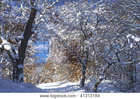 Snow Flocked Oaks