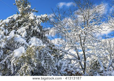 Snow Flocked Pines And Oaks