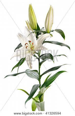 white lily Casablanca isolated on white background