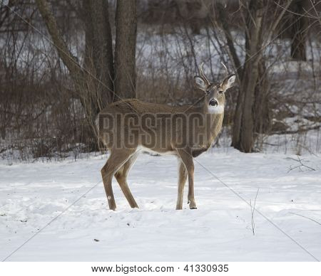 Three Point Buck Standing Broadside
