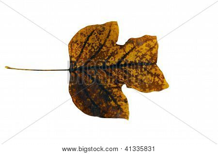 Sear Tulip Tree Leaf Turned On Its Side