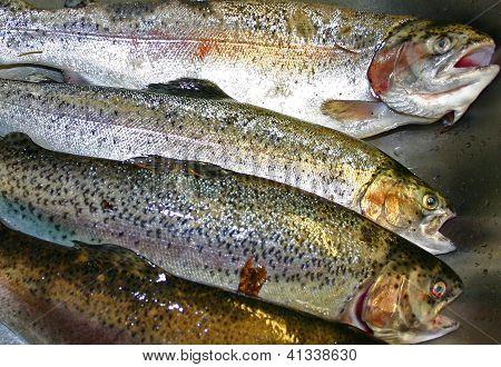 Farm raised brown trout