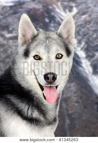 Beautiful siberian dog in the snowed mountain