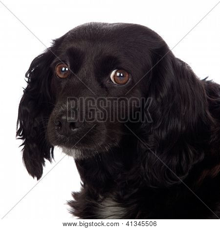 Beautiful black Cocker Spaniel isolated on white background