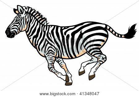 zebra on white