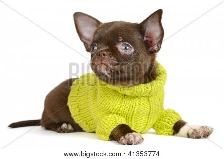 Chocolate Chihuahua puppy the age of 1 mounth on the white background