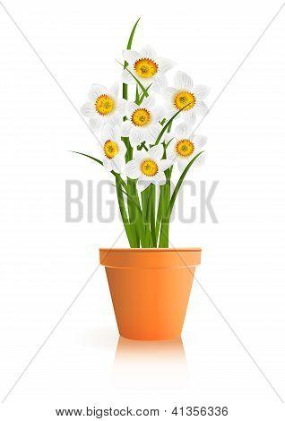 Jardinagem da Primavera. Narciso branco flores em pote