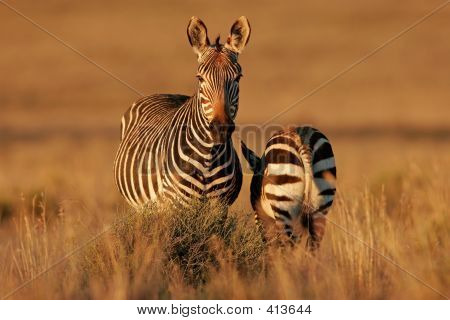 Cape Mountain Zebras 02