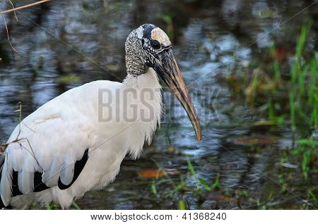 Wood Stork Closeup