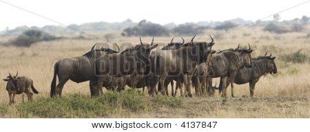 Herd Of Wildebeest On Safari