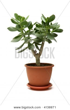 Moneytree In Pot Isolated On White Background.