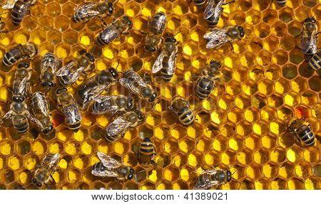 Pollen In Combs