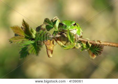 European Tree Frog.
