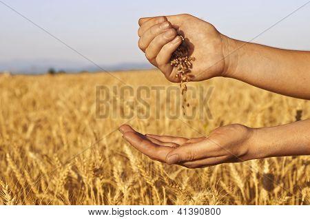 Ejecutar rápidamente de semillas de trigo entre manos