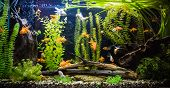 image of shoal fish  - A green beautiful planted tropical freshwater aquarium with fishes - JPG