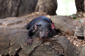 picture of taz  - Tasmanian Devil  - JPG