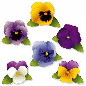 Pansies And Johnny Jump Ups
