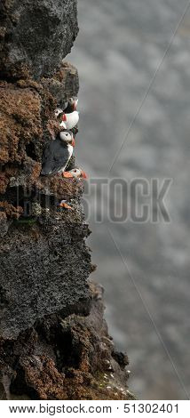 Puffins On The Cliff