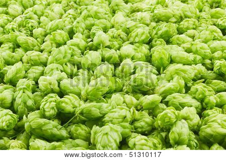 Hop Cones And Leaves