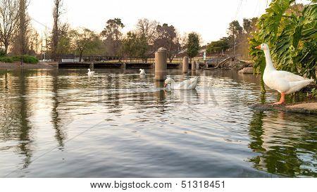 Ducks On Zoo Lake