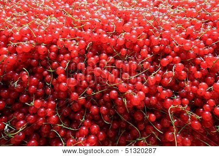 Redcurrant As A Wall