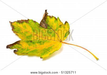 Autumn Yellowed Leaf On White Background