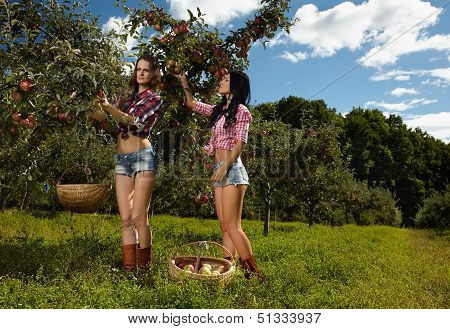 Women Picking Apples