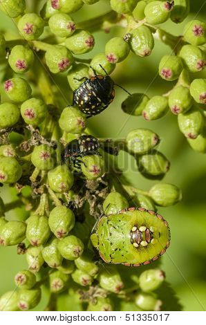 Young And Adult Shield Bugs