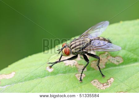 Closeup Of Tachina Fly