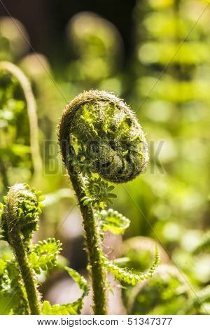 Closeup Of A Fern Unrolling