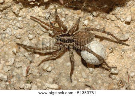 Wolf Spider (lycosa Tarantula)