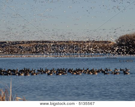 Geese On The Lake