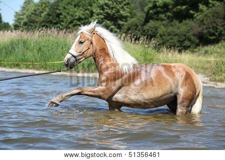 Nice Haflinger In Water