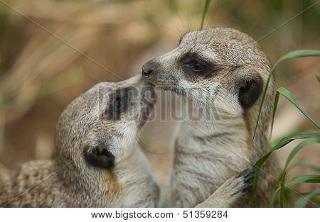 Meerkat Kiss