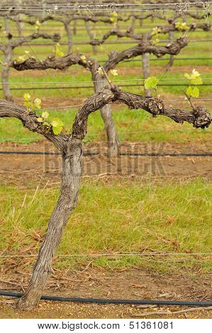 Shiraz After Budburst