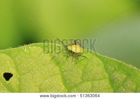 Green Stinkbug Larvae On Green Leaf