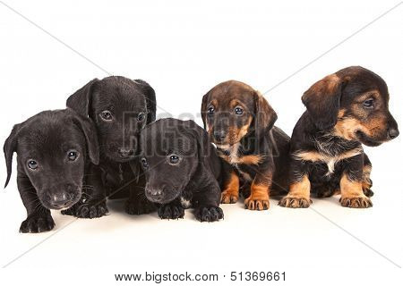 Dachshund puppies isolated on white