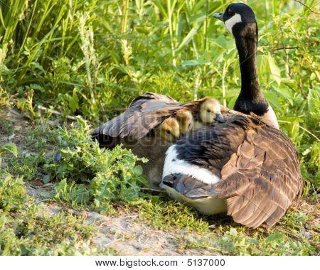 Polluelos de ganso de Canadá