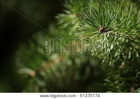 Pine Branch With Gossamers