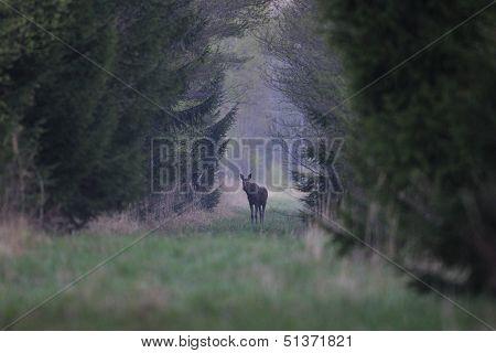 Moose walking in alley