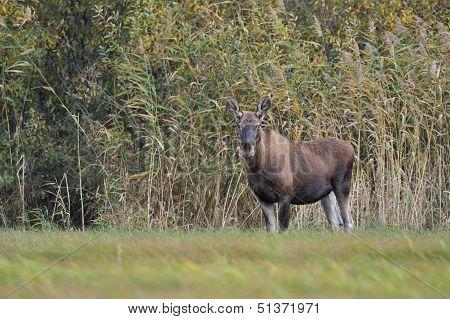Moose In Meadow