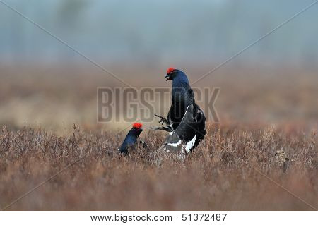 Black Grouse Fight In Front Of Female Grouse