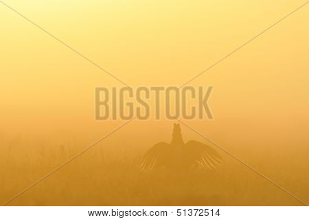 Black Grouse Wings Spread In Golden Light